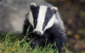 badger_2369182b